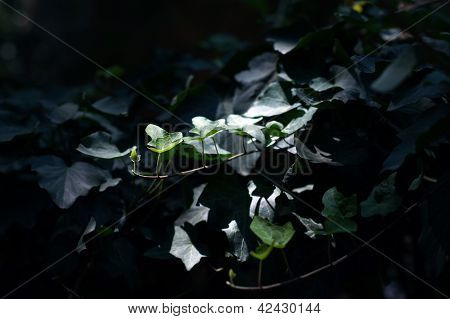 Hedera Plant In The Forest In Sunlight