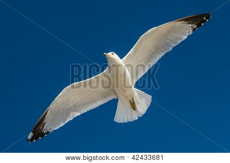 big white seagull in flight against the blue pure sky