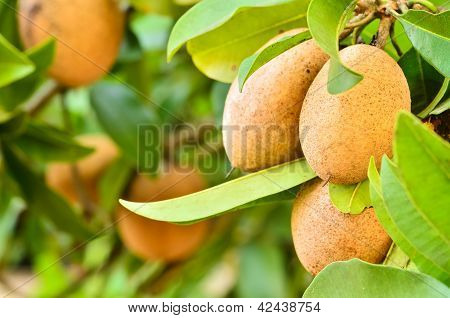 Sapodilla Fruit  In Garden.