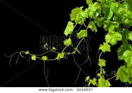 Grape Vine Isolated On Black
