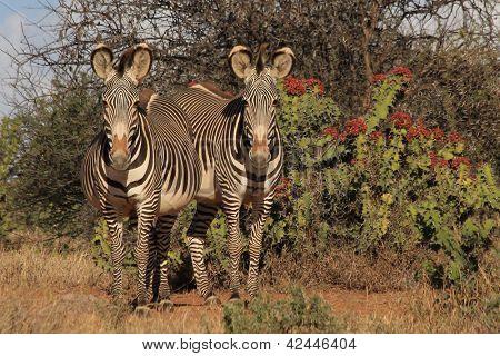 Grevy Zebra und Euphorbia plats in Laikipia, Kenia