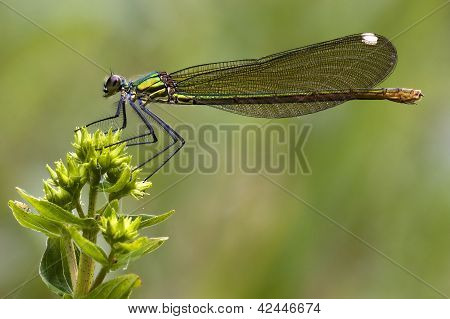 Side Of Wild Gold Green Dragonfly Coenagrion Puella