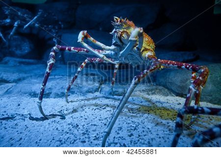 Big Alaskan crab specimen in underwater tank