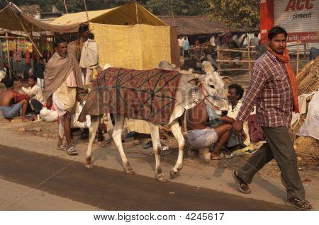Indian Livestock Fair