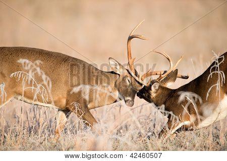 Venado cola blanca Bucks combate