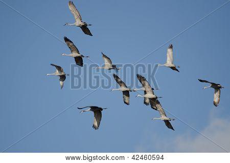 Sandhill Cranes In Flight