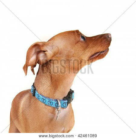 a min pin with a blue collar on