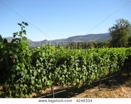 Vineyard And Mountain