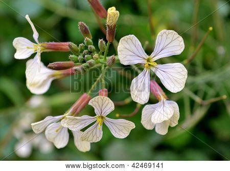 Fodder radish flowers