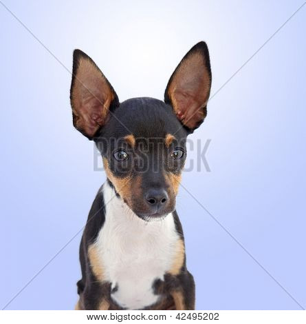 A small dog Chihuahua isolated on a over blue background