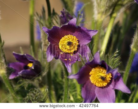 Pasque flower in garden at spring