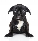 foto of bulldog  - Sad puppy of French bulldog sits on a white background - JPG