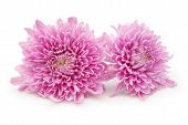 pic of chrysanthemum  - pink chrysanthemum flowers on a white background - JPG