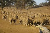 stock photo of feedlot  - Group of sheep being fed in a dusty feedlot during Australian drought - JPG