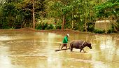 stock photo of carabao  - a farmer preparing his rice farm for planting - JPG