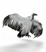 A White Backed Vulture On White Background