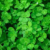 stock photo of shamrocks  - Spring green clover (shamrock) leaves to St. Patrick Day