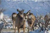 stock photo of mule deer  - Mule Deer Standing in the snow at a feeding station in the middle of winter - JPG