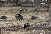 picture of harem  - Turkey Harem in the trees in early spring in Utah - JPG
