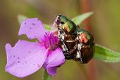 stock photo of coitus  - a chrysomelid beetle in rain forest Thailand  - JPG