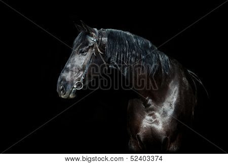 Black horse portrait isolated on black, Ukrainian horse.