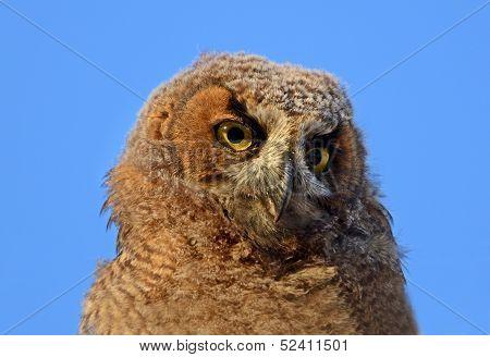 Great Horned Owl Owlet Portrait