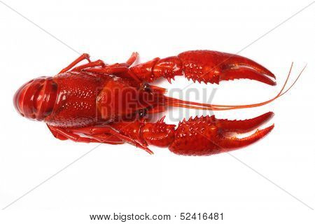 red craw fish on white background