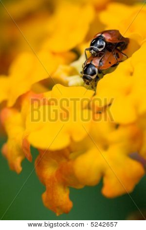 Pair Of Ladybugs Mating On Yellow Flowers
