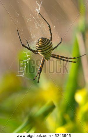 Spider (argiope Bruennichi)