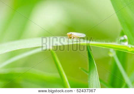 Aphid On The Leaf