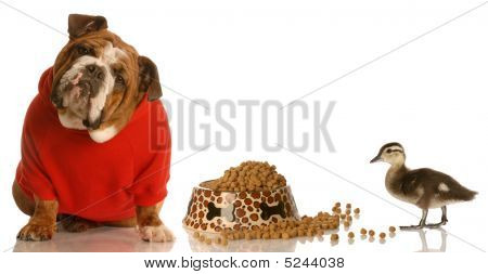 Bulldog In Red Sweater And Duck With Food