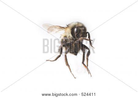 Flying Bee Macro