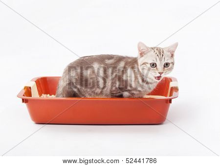 Small scottish kitten in red plastic litter cat isolated on white