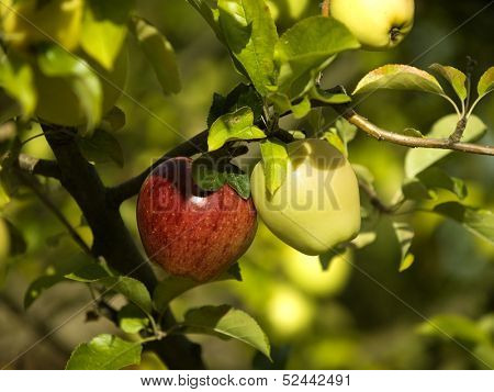 Two different colour apples hang on a tree