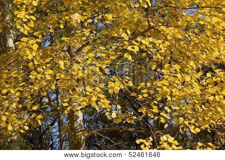 Yellow Foliage Of European Aspen (populus Tremula) In Autumn.