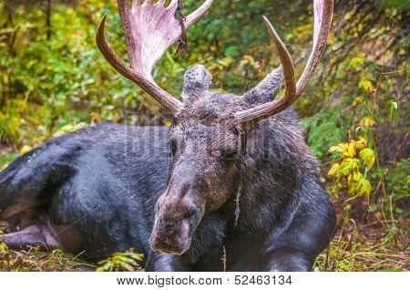 Adult Bull Moose