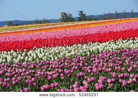 Color Tulip Field