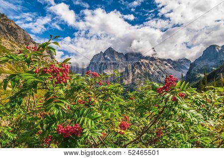 Mountain Ash On The Hiking Trail In The Cascade Canyon - Grand Teton National Park