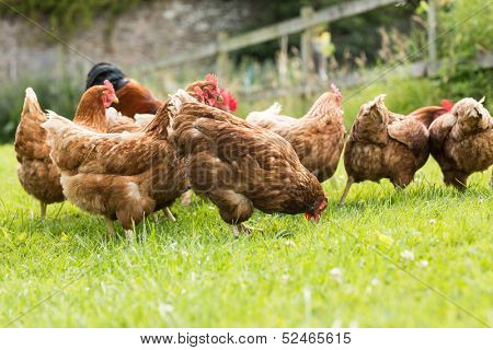 Free range chickens on a lawn pecking the ground