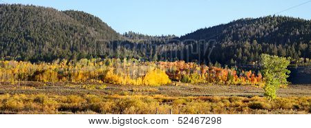 Panoramic view of row of aspens near Yellowstone national park