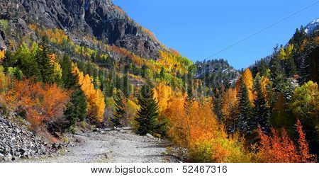 Bright colorful Aspen trees in Colorado