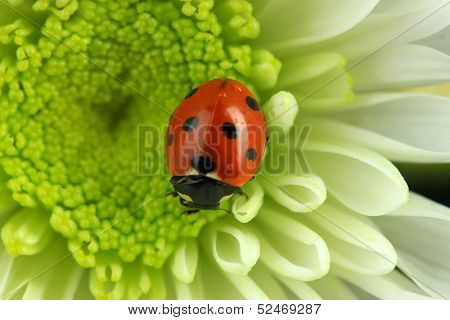 Beautiful ladybird on flower, close up