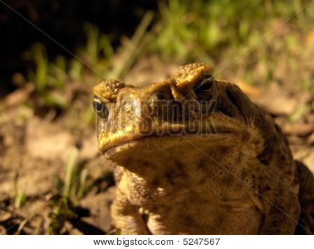 Cane Toad Frown