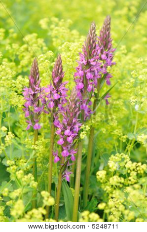 Purple Loosestrife And Yellow Lady's Mantle Flowers
