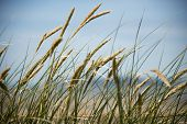 pic of dune grass  - Grasses blow in the wind on sand dunes