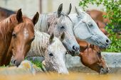 stock photo of herd  - Horses drinking water outdoor - JPG