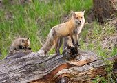 Red Fox Family, Yellowstone National Park