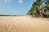 picture of pinus  - Dune landscape in summertime with a forest of Scots Pine or Pinus sylvestris trees on the side and hot yellow sand in the foreground - JPG
