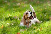 image of puppy beagle  - Beagle in green grass - JPG