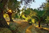 stock photo of kalamata olives  - Dirt road among olive trees under bright sunlight beams - JPG